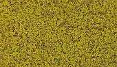 Coarse Turf. Yellow grass